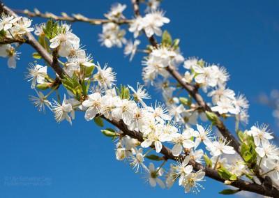 Blütenträume II