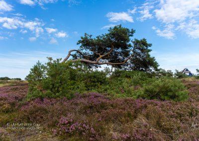 Windflüchter in der Heide