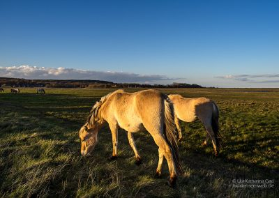 Pferde im Abendlicht
