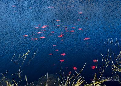 Rote Seerosenblätter